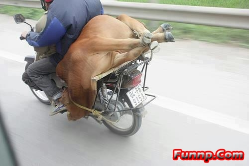 Really Funny Cow Pictures