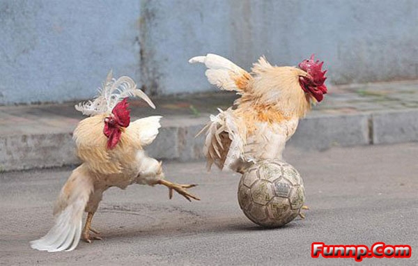 Funny Chicken: Fight For This Love