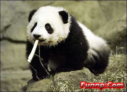 Cute and Funny Panda Pictures